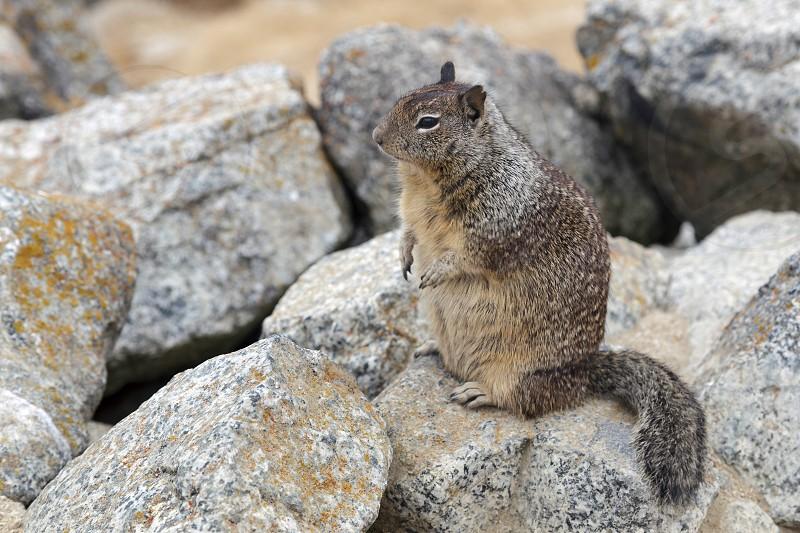 California Ground Squirrel (Otospermophilus beecheyi) photo