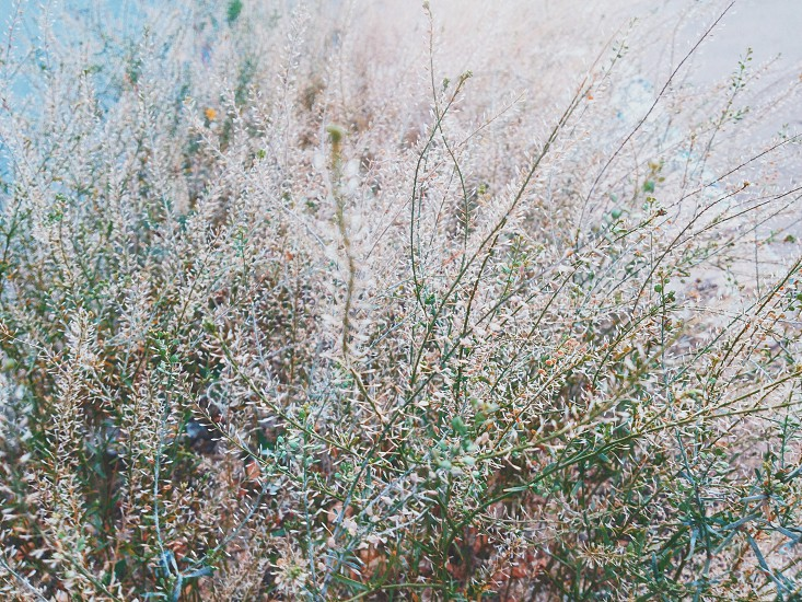 Dry grass. Tender gentle pastel colors mostly pink  photo
