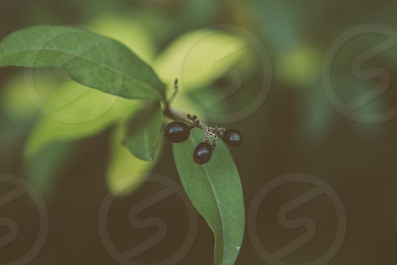 black currant fruit photo
