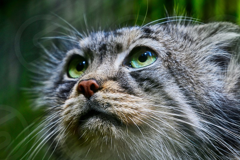 Pallas Cat portrait photo
