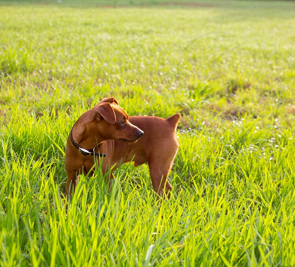 brown Dog mini pinscher in a green meadow outdoor photo