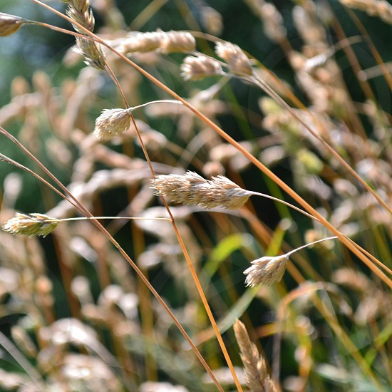 wheat plant  photo