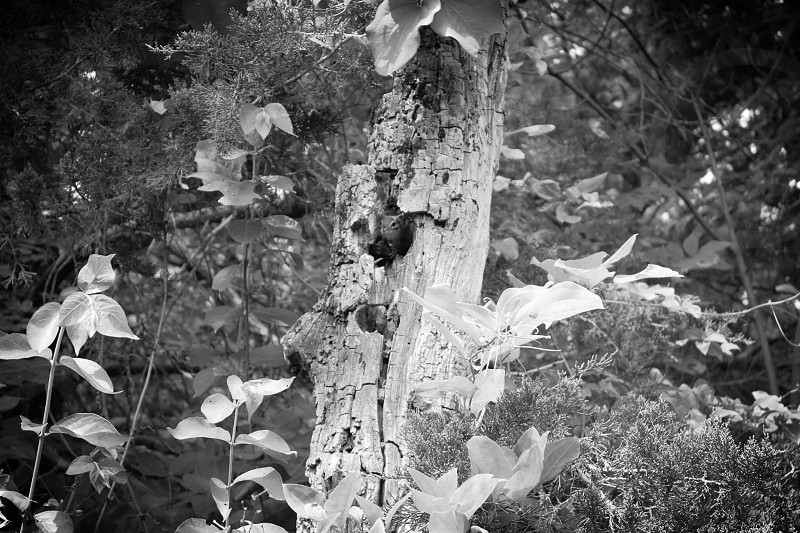 Squirrel in old tree trunk wildlife black and white photo