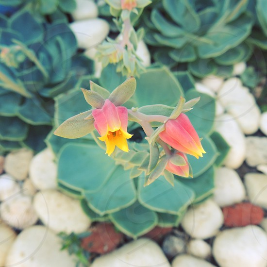 red and yellow succulent flower photo