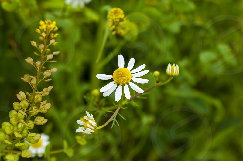 Ecosystem Meadow Meadow Plants Chamomile Chamomile Plant white and yellow flower Herbal Medicine Flower Single Flower Grass Green Color May Nature Beauty In Nature Individuality Bud Herb photo