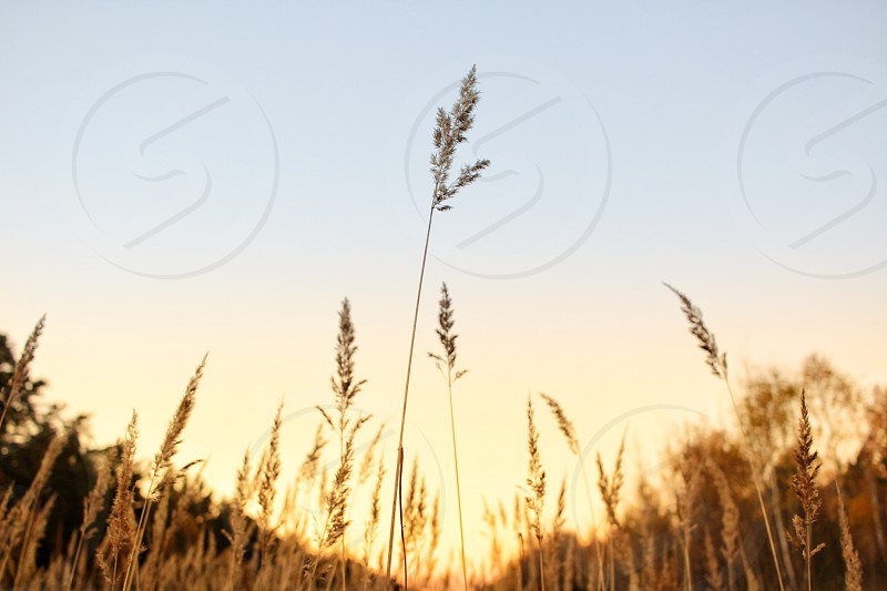 close-up agriculture orange countryside farming field plant ripe rural seed wheat bread closeup crop farm grain green harvest natural stem summer sunny cereal healthy macro produce rye autumn background golden field background landscape nature autumn grass beauty sunset beautiful dry evening outdoors summer yellow forest air blue branches bushes clouds cold ecology frost handsomely moscow russia photo