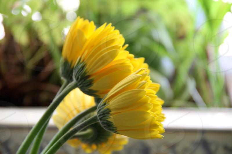 Spring yellow gerberas flowers colors nature close ups bokeh photo