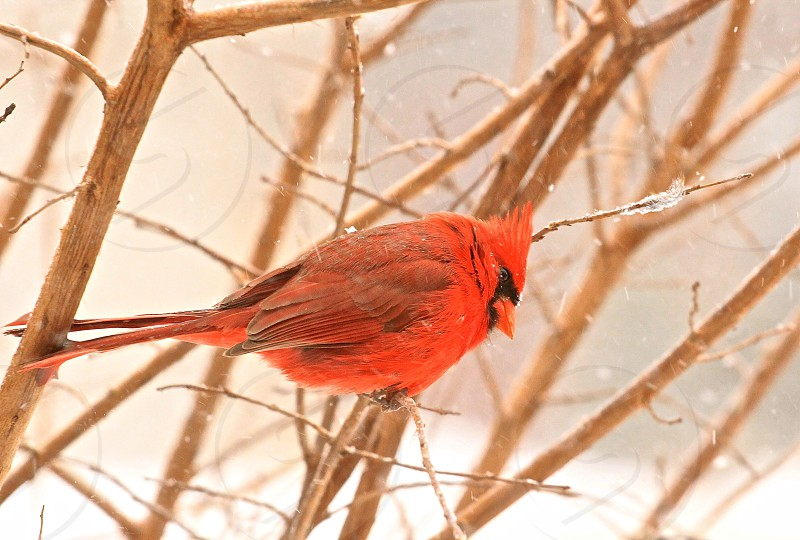 Cardinal Male Wildlife red vibrant photo