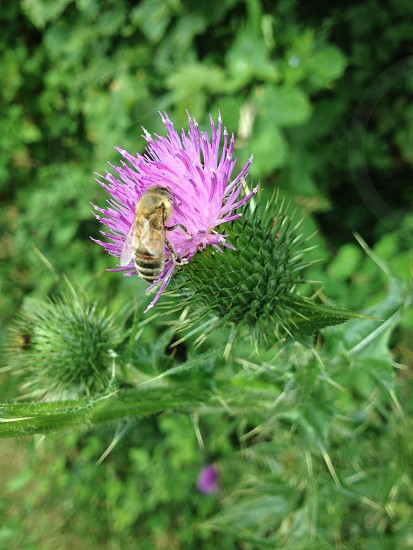 A thistle in summer.  photo