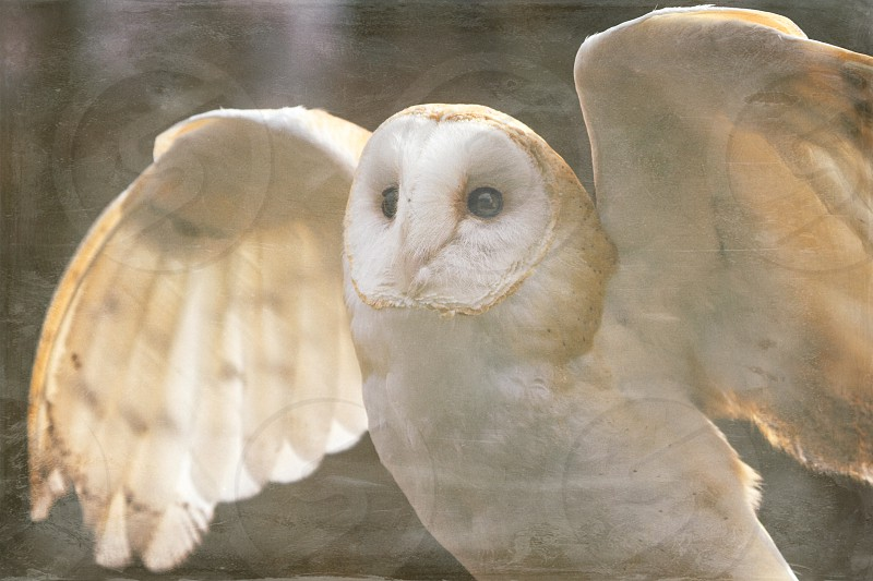 A barn owl taking flight.  Processed with Faded app:  Nevada City Emulsion Dust & Scratches Vignette photo