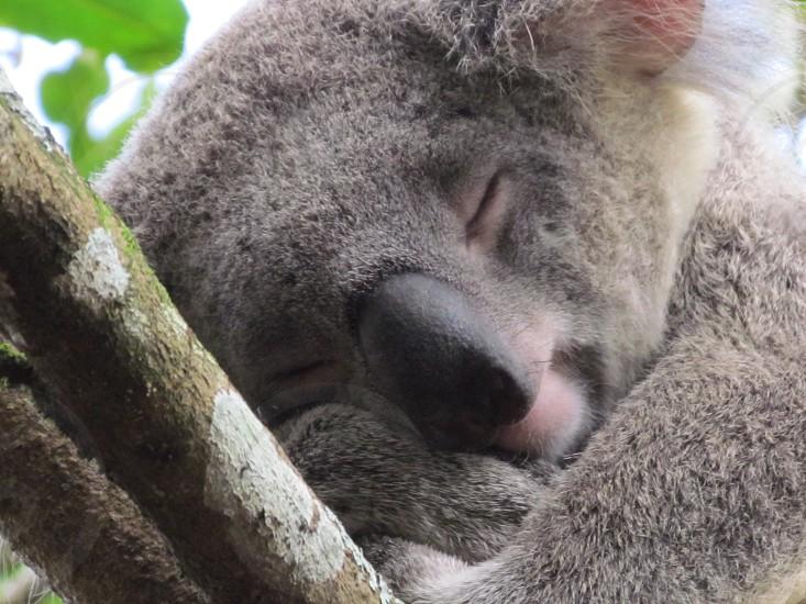 Happy sleeping koala in Australia photo