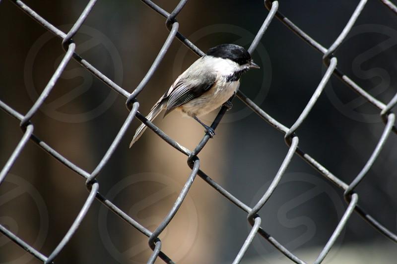 Bird on fence. photo