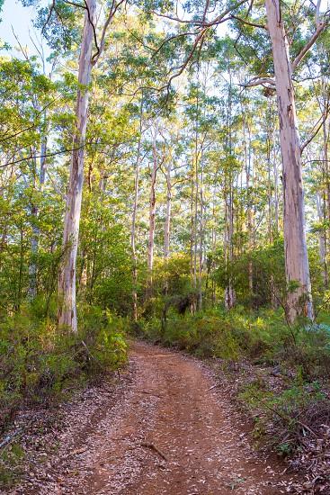 Karri forest in Boranup photo