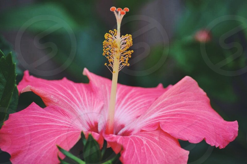 pink hibiscus flower close up photo