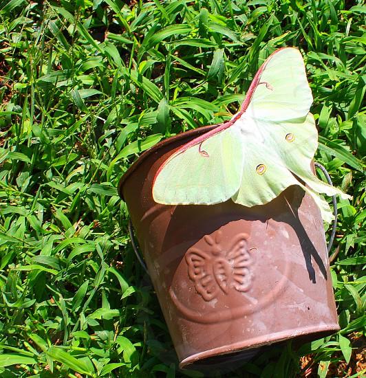 The Luna Moth photo