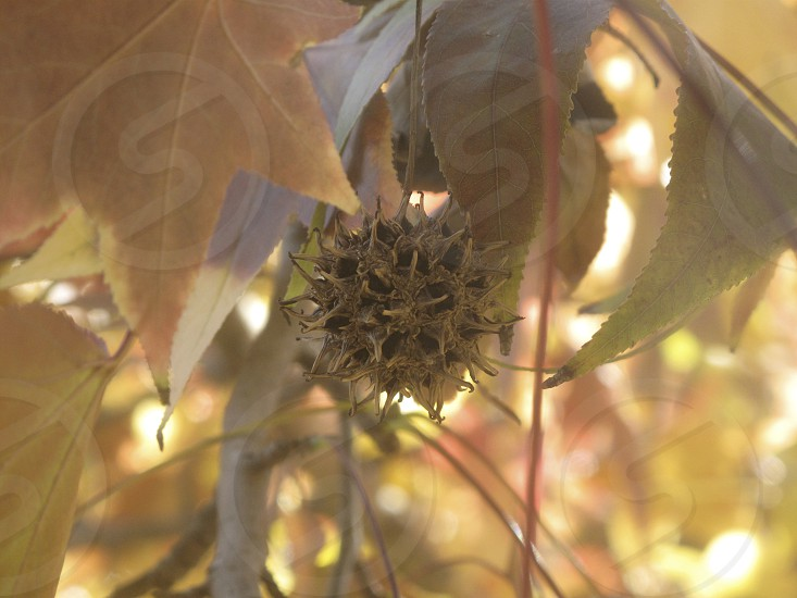 sweet gum tree fruit leaves fall burr ball nature macro outdoors  photo