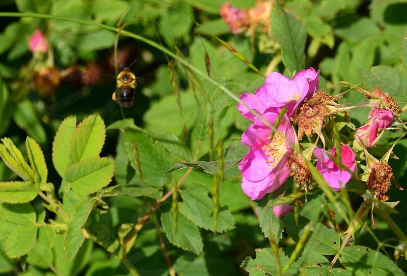honeybee near purple flower photo