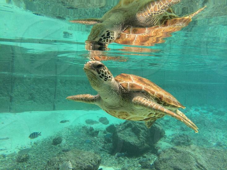 Turtle taking a breath photo