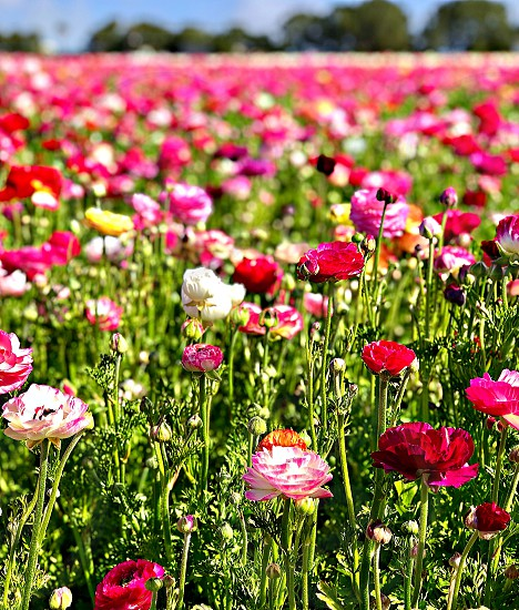 The Art Of A Color Palette Request A Colorful Palette Of  Flower Fields Flowers Flower Fields Ranunculus Red Pink  Blossom Fields Request Palette Magnitudes Peony Poppy Fields photo