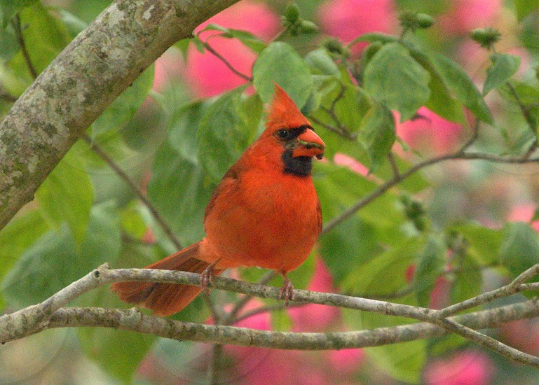 Male Cardinal with a worm photo