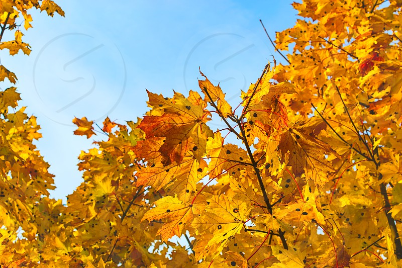 Orange and yellow maple leaves against blue sky photo