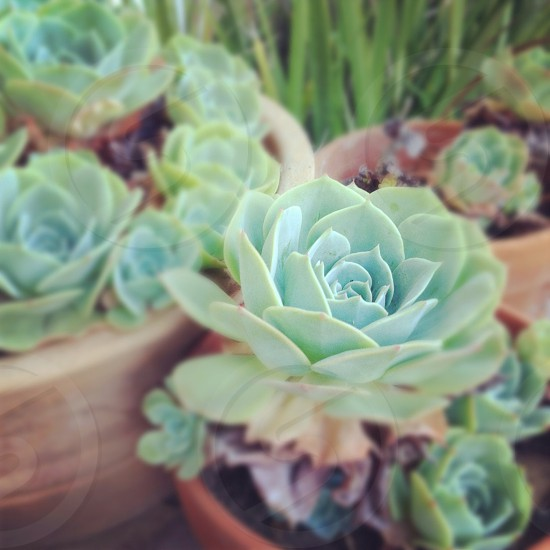 succulent plants photo