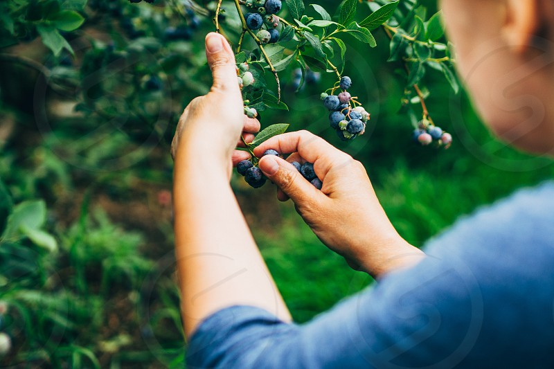 woman harvesting fresh blueberries outdoors photo