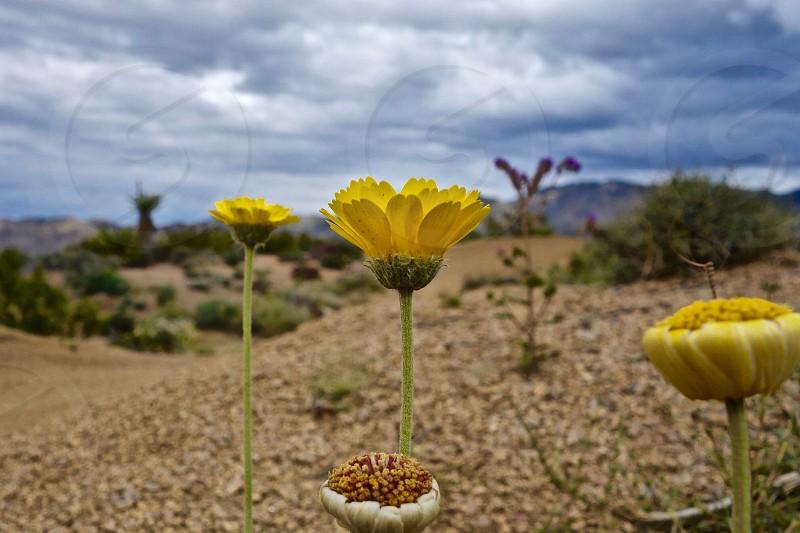 Blooming Desert photo