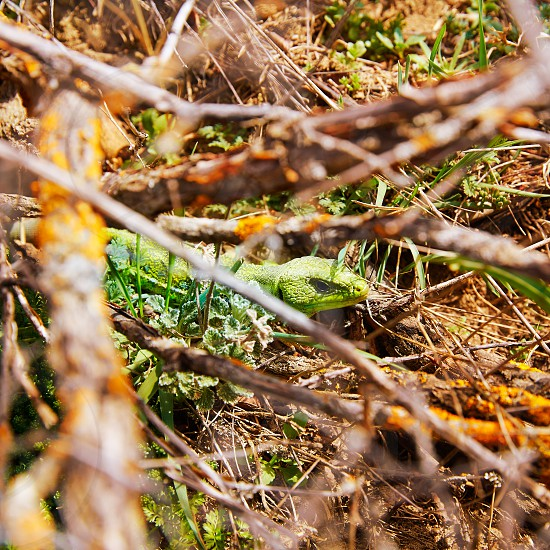 Fardacho green lizard hide in the branches at Spain forest photo
