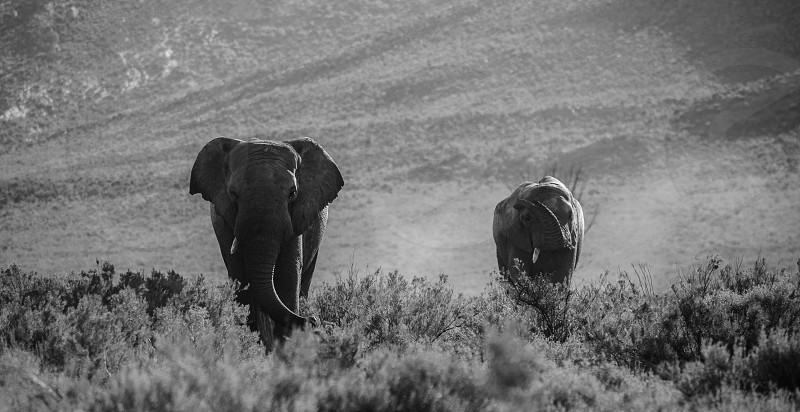 Elephant couple in South Africa photo