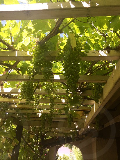 Grapes in the California Summer growing on a trellis.  photo