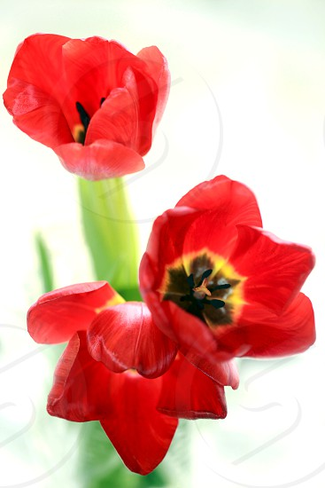 3 red petaled flower with white background photo
