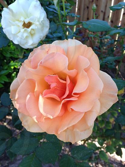 rosesflowerbloomplantnaturepetals photo