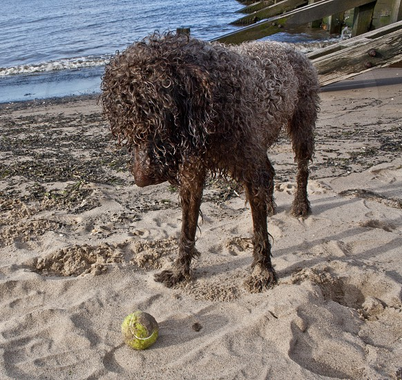 Wet Portuguese Water dog staring at a tennis ball on the beach photo