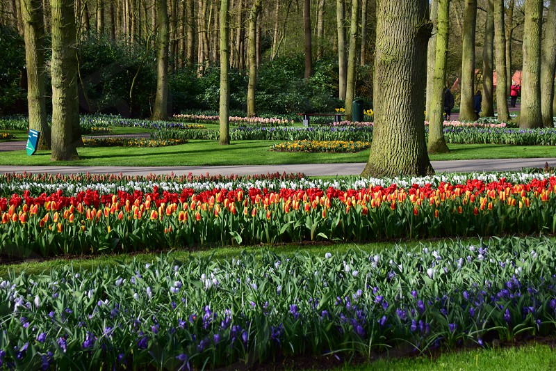 #spring #colors #flowers #tulip #green #red #garden #tree #park #blu #yellow #pink #holland #nature #sun #beauty #leaf photo