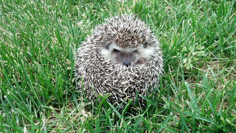 African Pygmy Hedgehog enjoying some outside time. Curled up in a ball.  photo