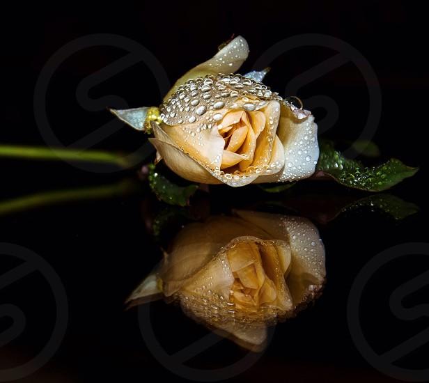 beige rose photo