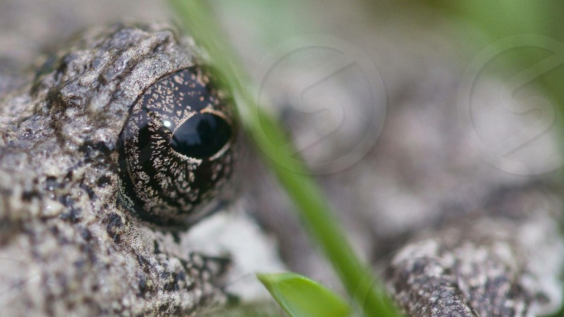 the eye of a reptile or amphibian photo