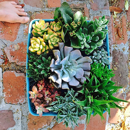 Tray of young succulents ready to be planted photo