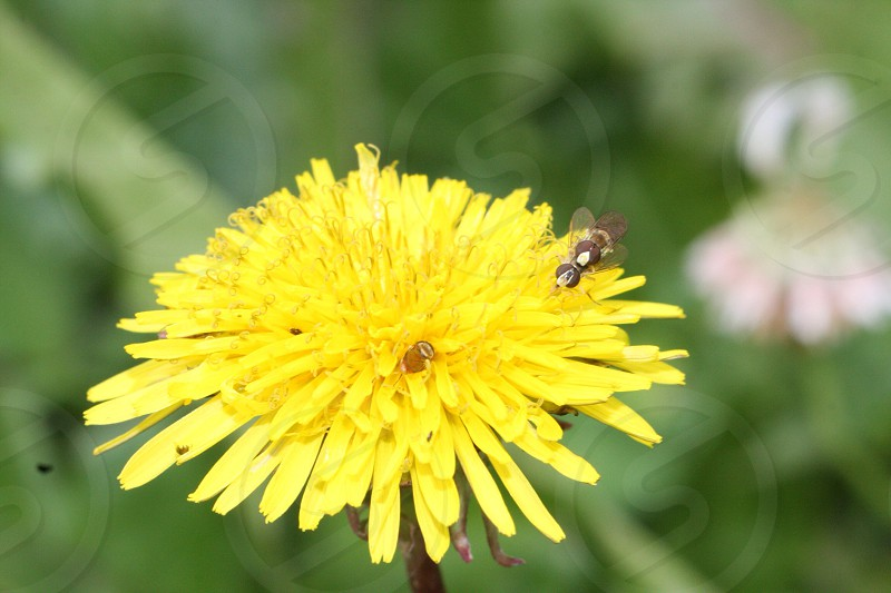 Dandelion with and insect friend bugs small beautiful yellow photo