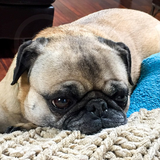 pug sleeping sad dog photo