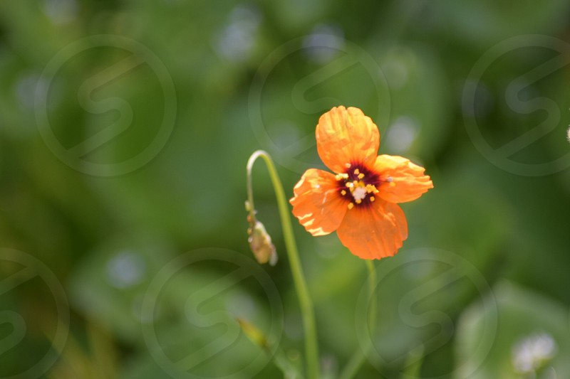 Orange spring flower green flowers grass field nature  photo
