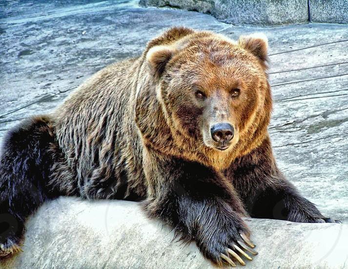 black and brown sun bear on gray concrete pavement photo