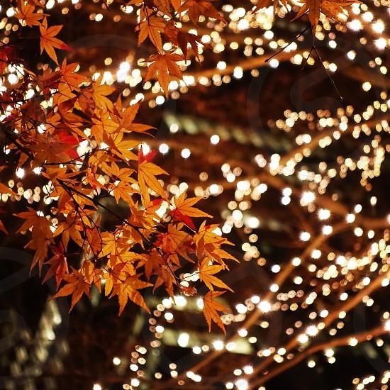 white christmas lights on maple tree photo
