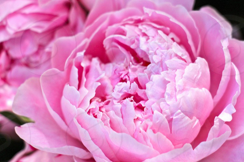 close up photo of a pink flower photo