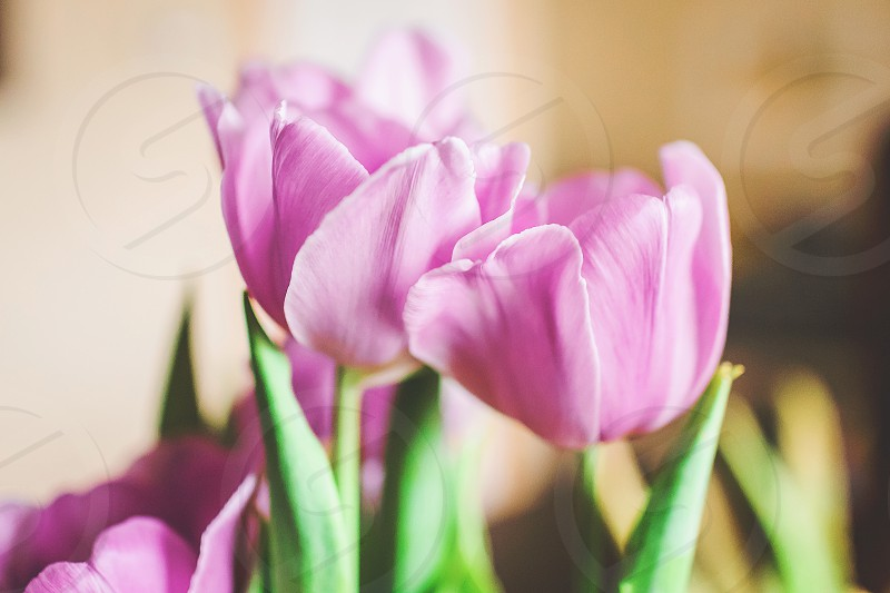 spring flowers in home purple tulips photo