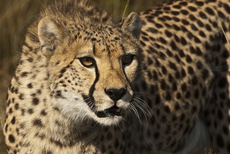 Close up of a Cheetah  photo