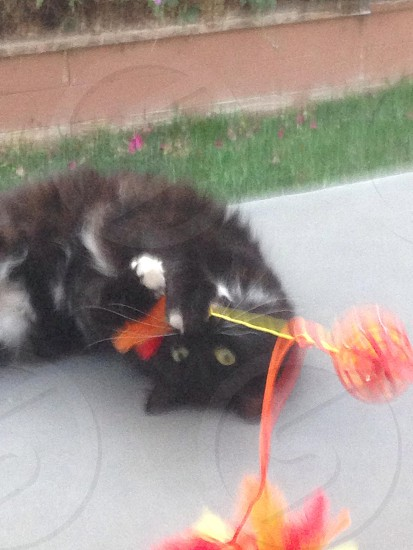 black and white cat playing with red and orange cat toy photo