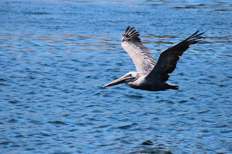 Brown Pelican skimming atop the water photo