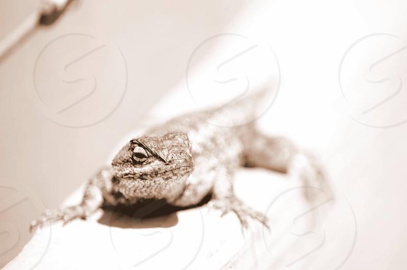 gray lizard photo
